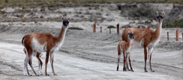 banner-Guanaco-Pag_3.jpg